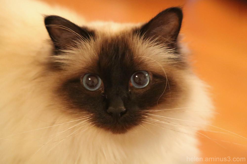 Atticus catticus 2