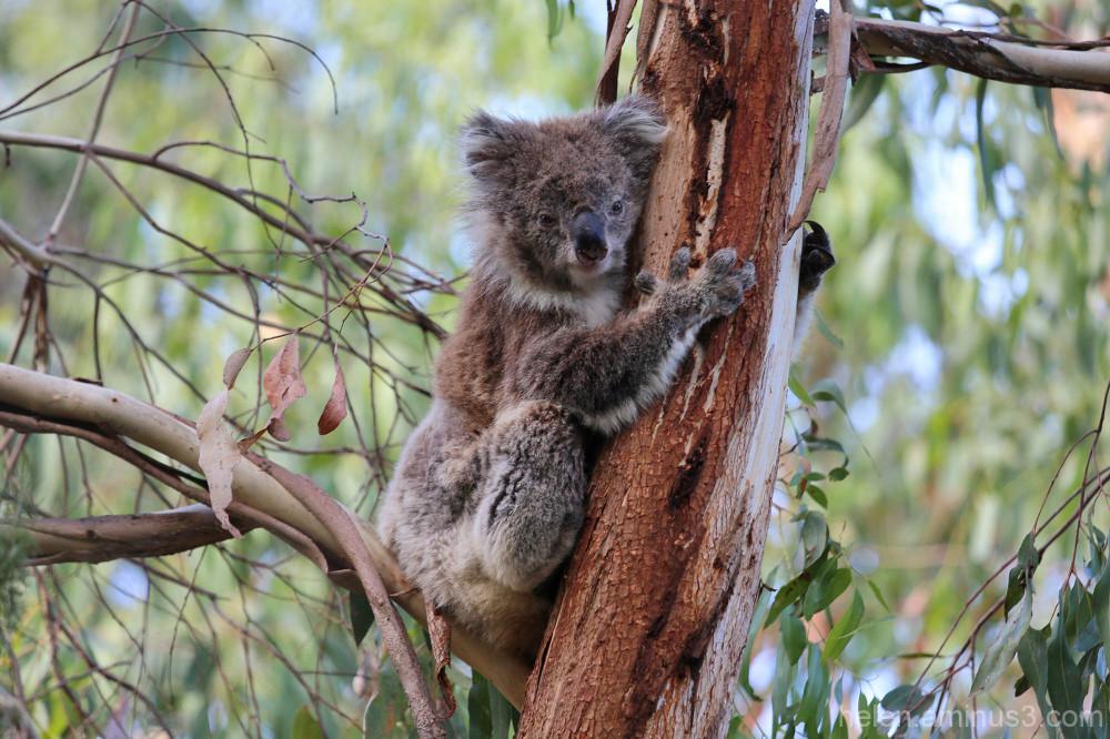 Baby koala 1