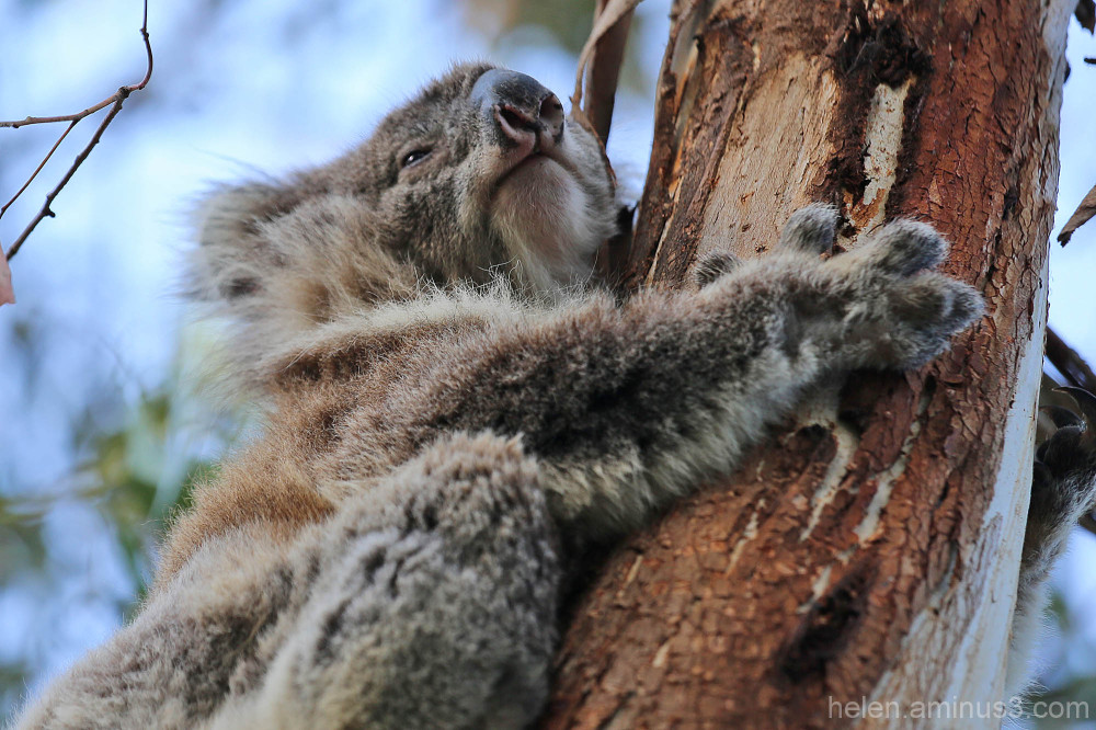 Baby koala 2