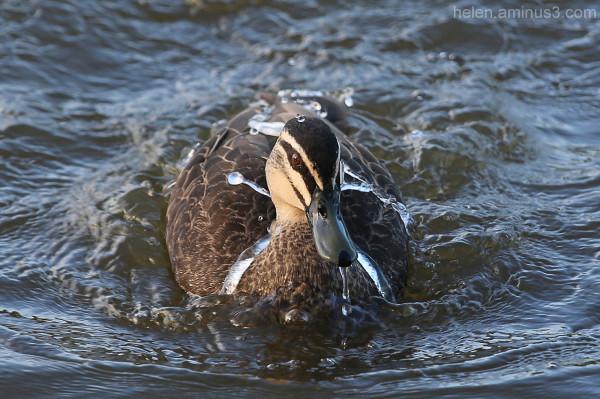 Ducks on the pond: 2