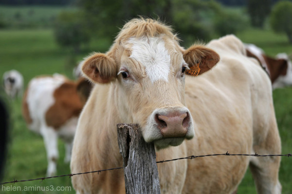 cow fence barbed wire