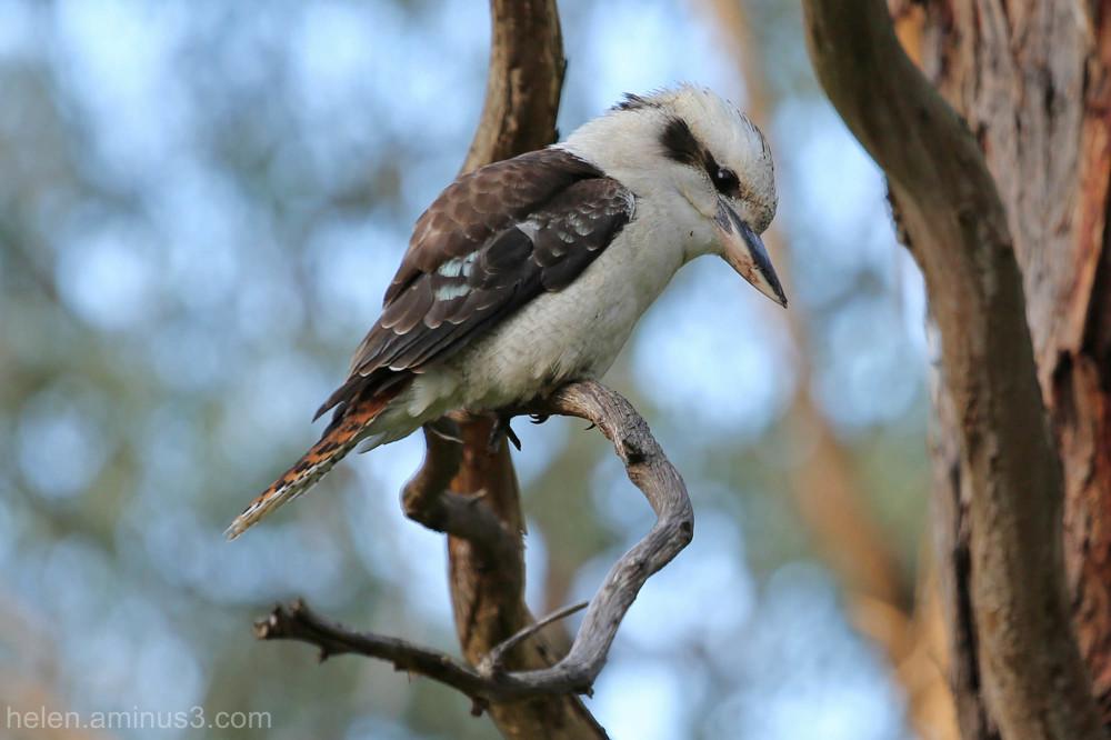 Kookaburra hunting