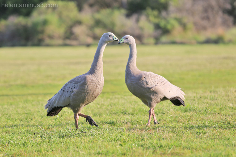 bird Cape Barren goose grass