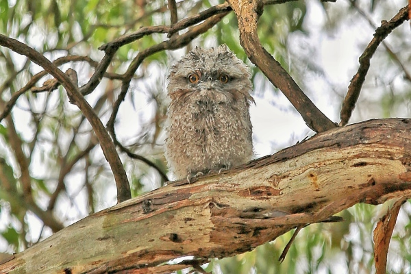 Frogmouth 3