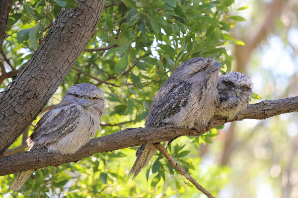 Frogmouth 4