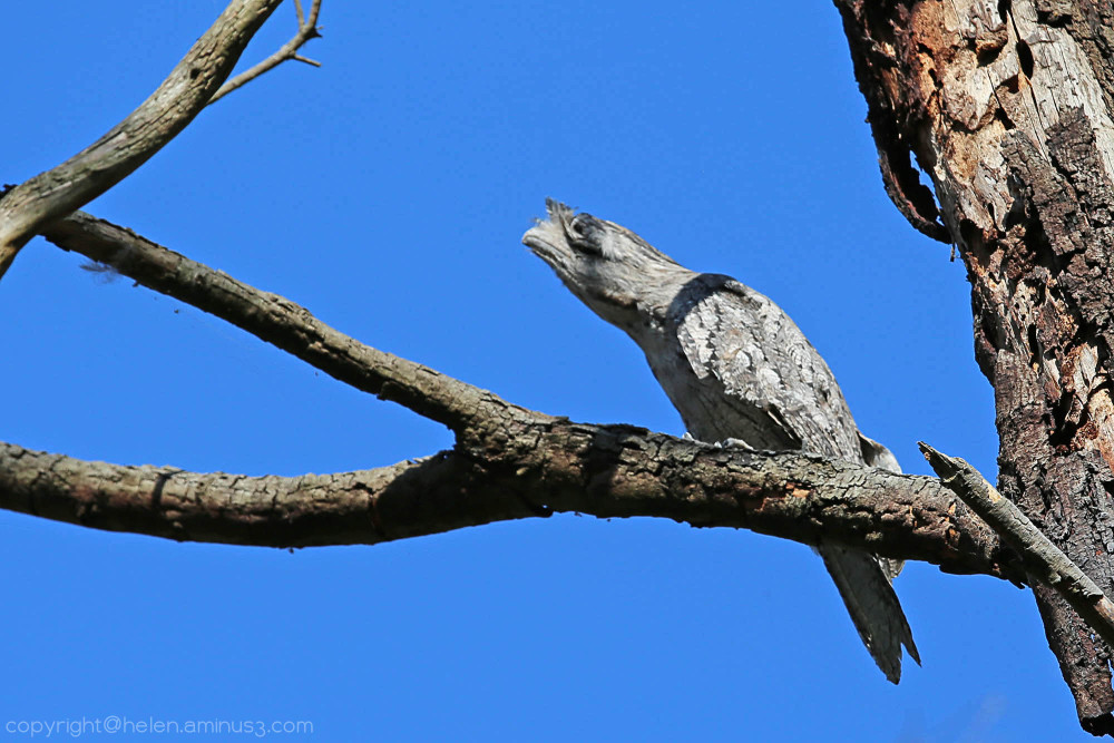 Frogmouth 5