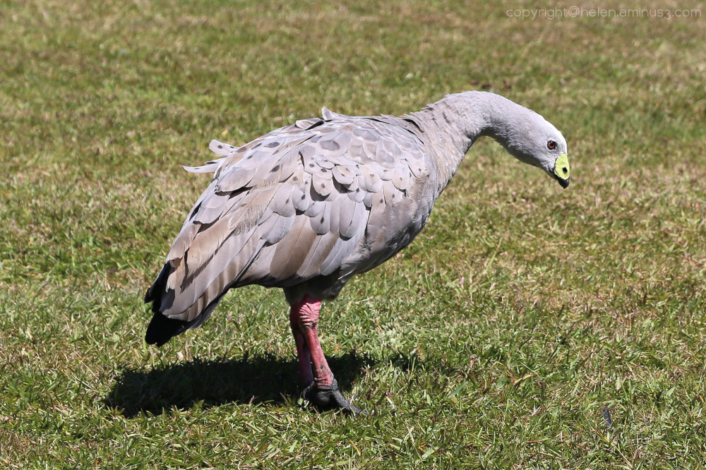 Cape Barren goose 2
