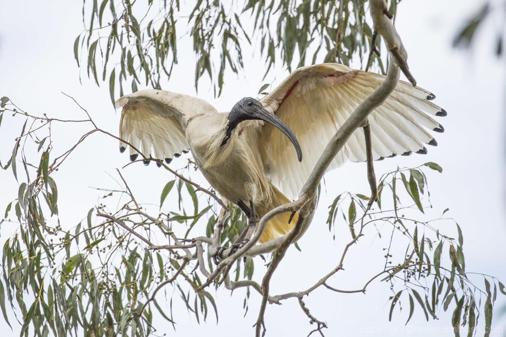 Spring ibis