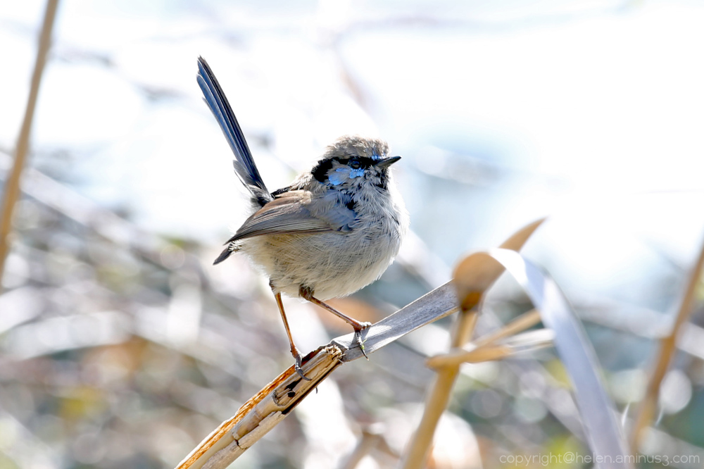 Immature male Fairy Wren
