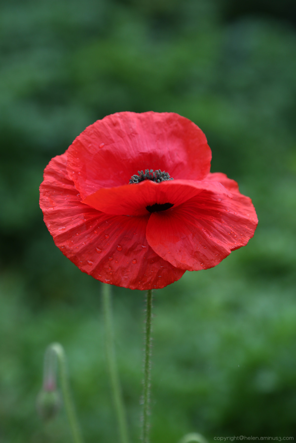 The first poppy