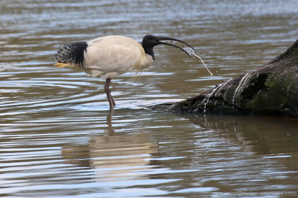 Ibis feeding