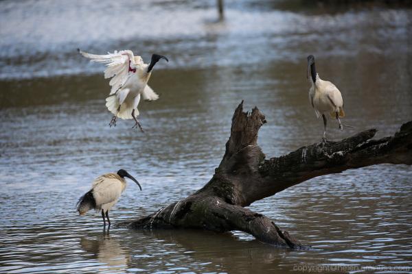 Contested perch