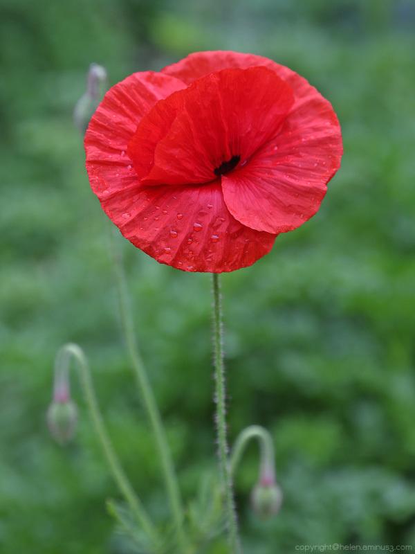 A poppy's teardrops ...