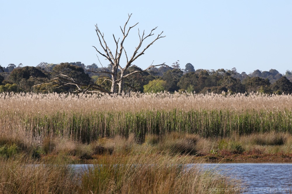 Dead tree in the wetlands
