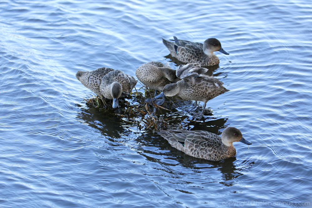 Half a dozen ducklings