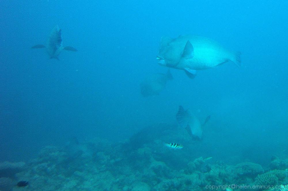 Bump Head Parrot Fish