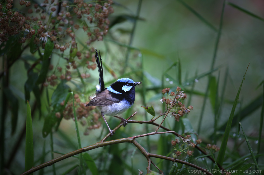 Male Fairy Wren