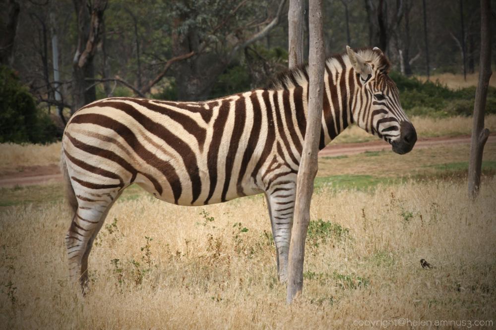 Zebra hiding behind a tree