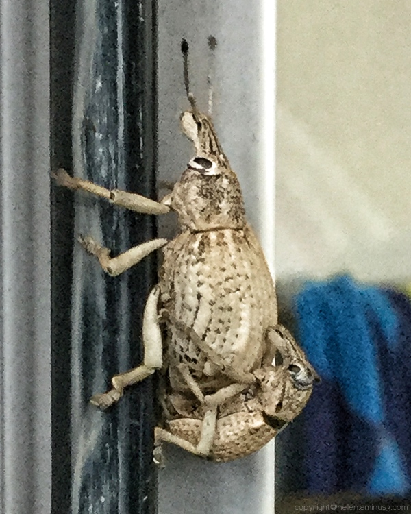 The mating of the weevil