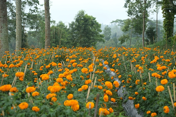 Golden marigolds