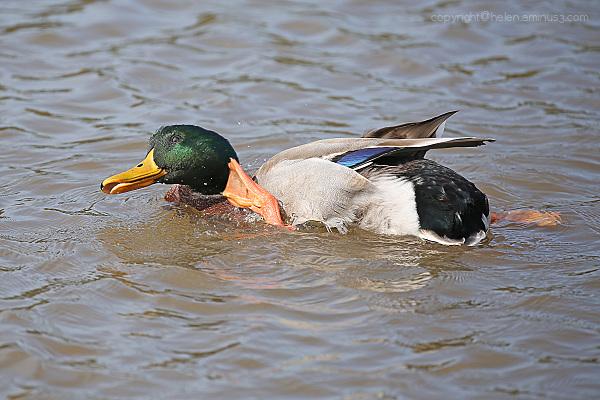 Duck pilates