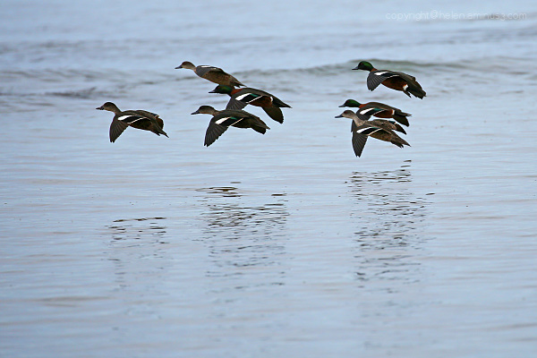 ❤ ❤ ❤ ❤ ❤ ❤ ❤ ducks