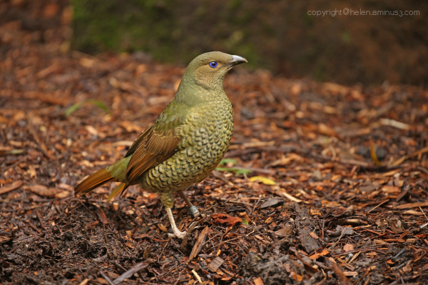Female Bowerbird