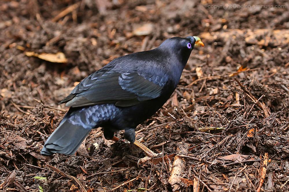 Male Bowerbird