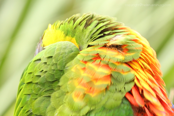Rainbow Lorikeet (detail)