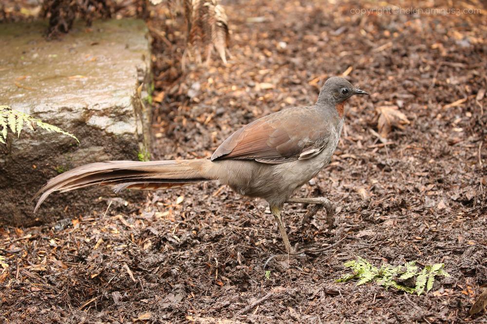 Lyrebird 1
