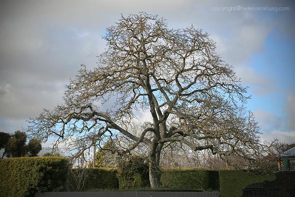 Tree: Kyneton