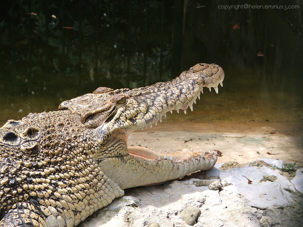 Crocodilian smile