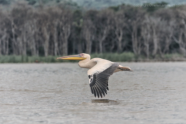 Pelican on Lake Chamo