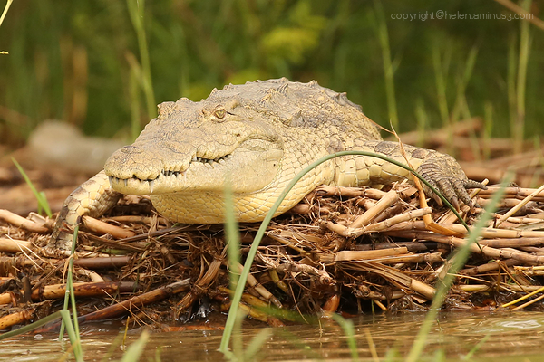 Crocodile on Lake Chamo