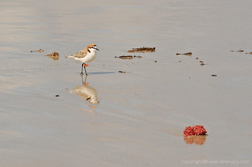Tagged - Red capped plover