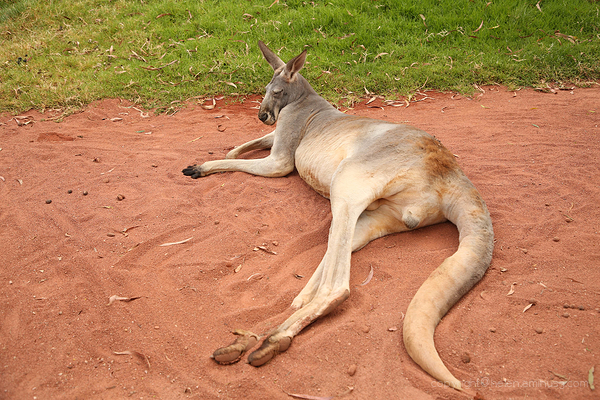 Big Red Kangaroo (male)