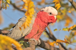 Galah   late afternoon