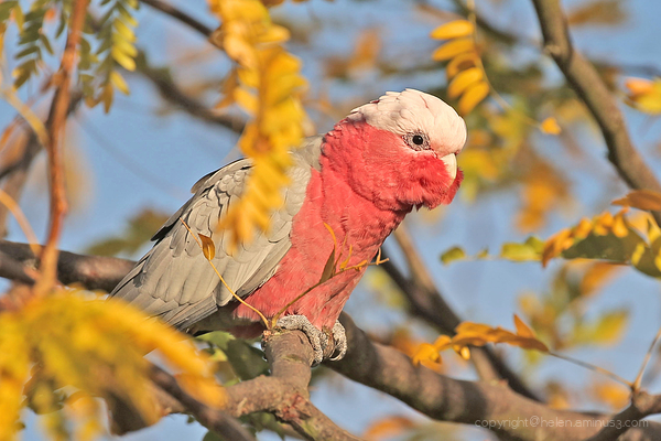 Galah - late afternoon