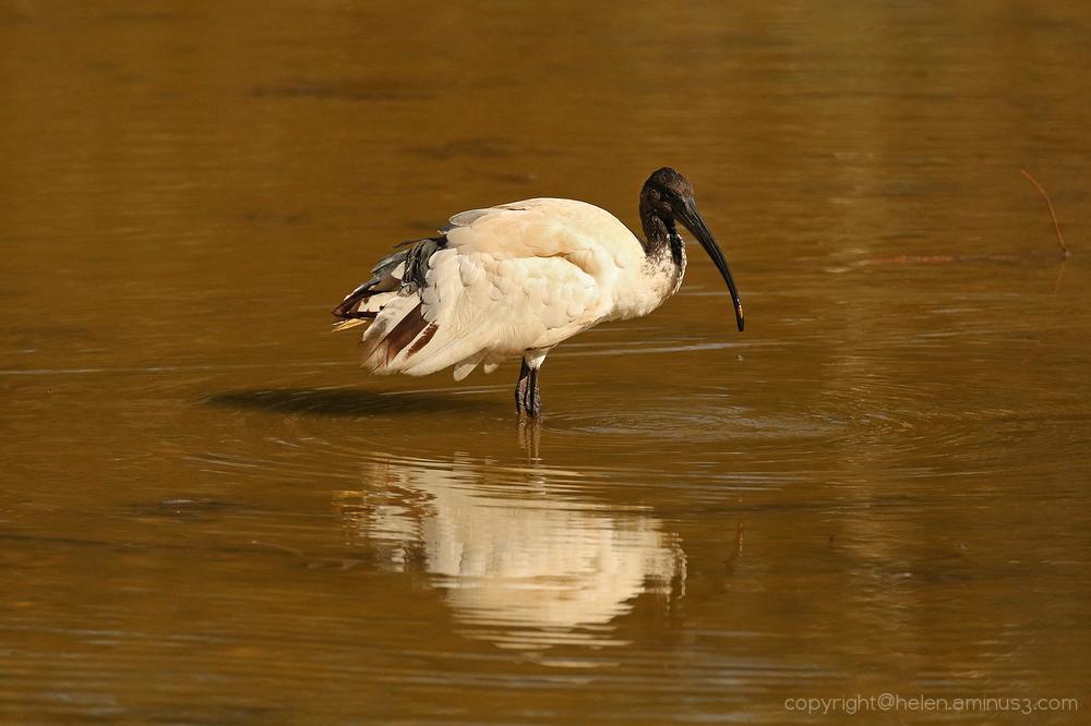 Wading Ibis