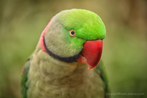 Red beak