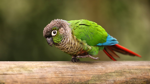 Coloured parrot