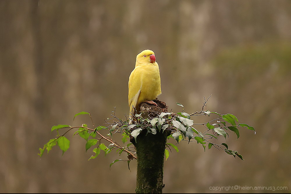 Sleepy yellow bird