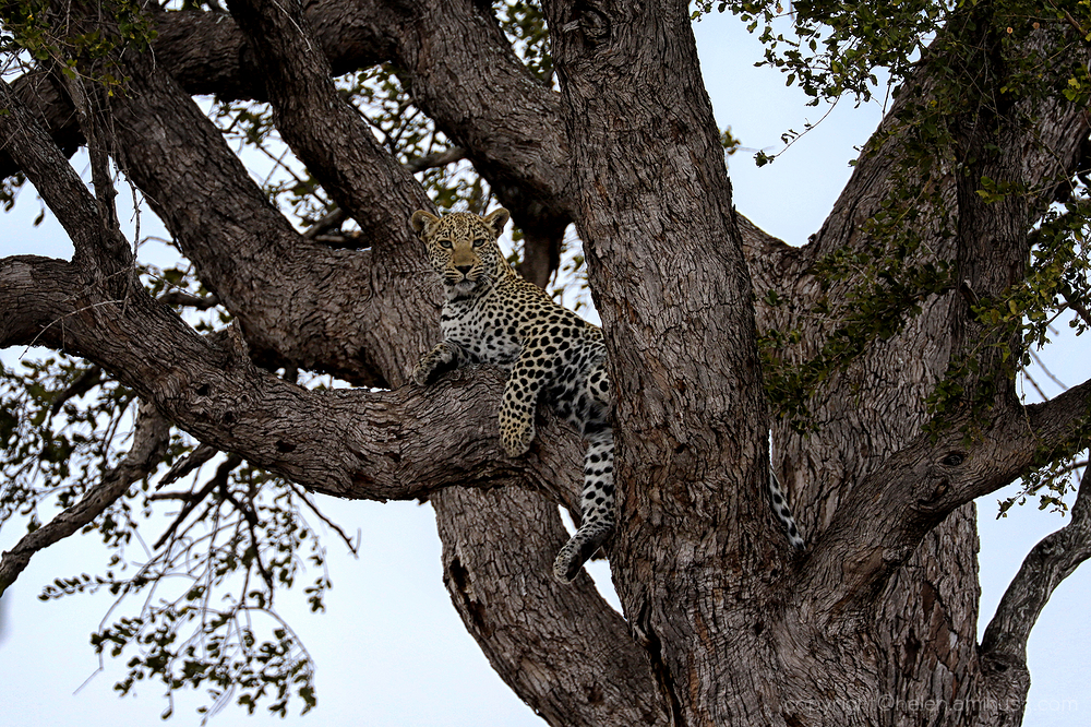 Kruger 1: Leopard in  tree