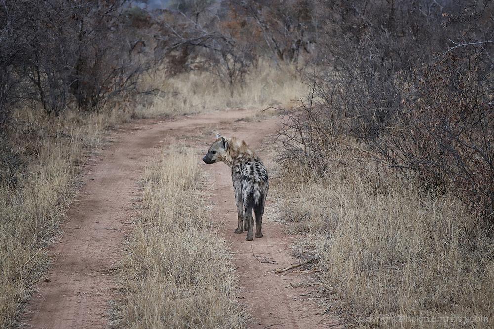 Kruger 4: Hyena