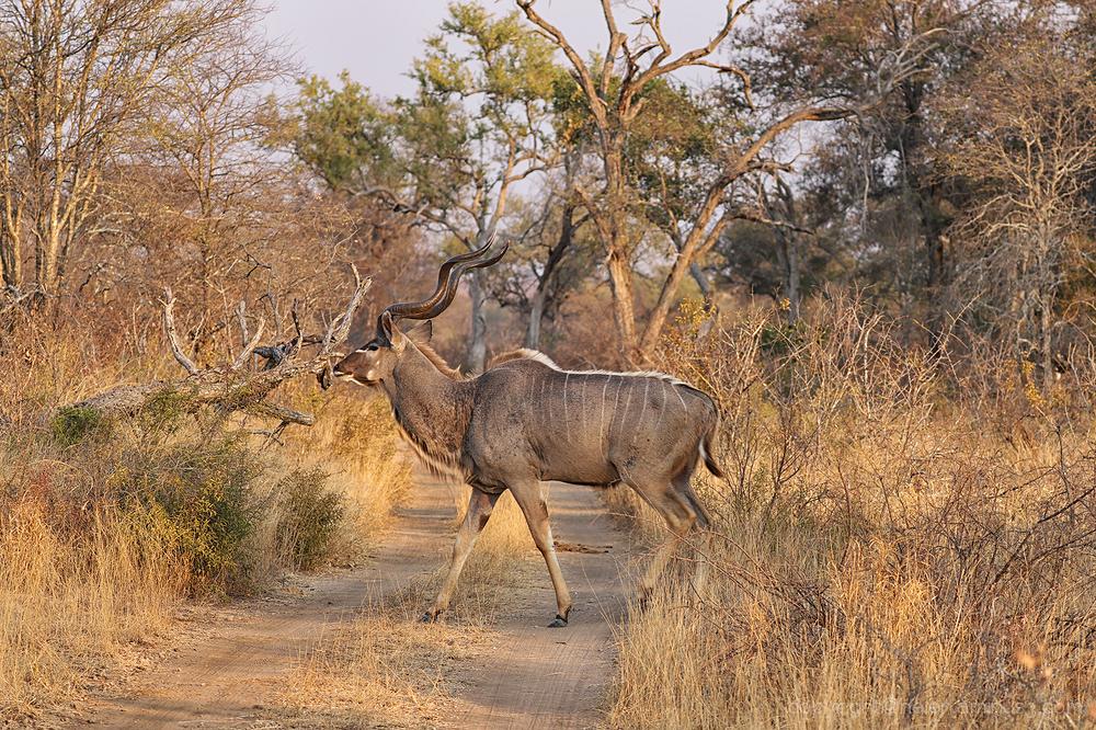Kruger 5: Kudu