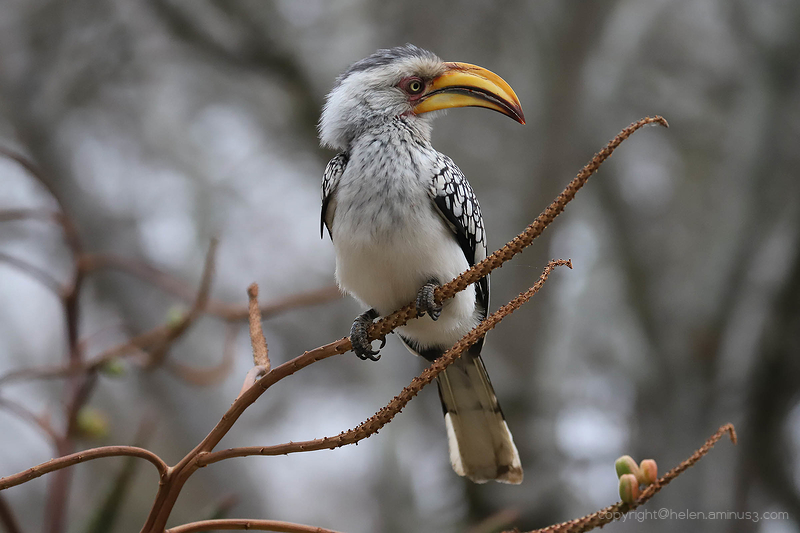 Aminus3 Featured photo Kruger 6: Southern yellow-billed hornbill | 3 September 2019