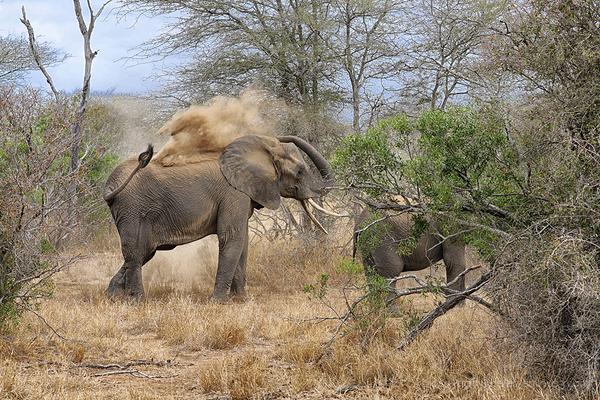 Kruger 8: Elephant dust!