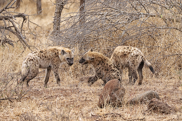 Kruger 9: Hyena pups at play