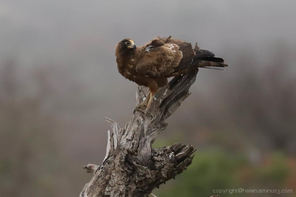 Kruger 9: Wahlberg's Eagle