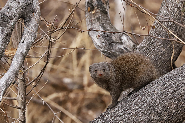 Kruger 10: Mongoose